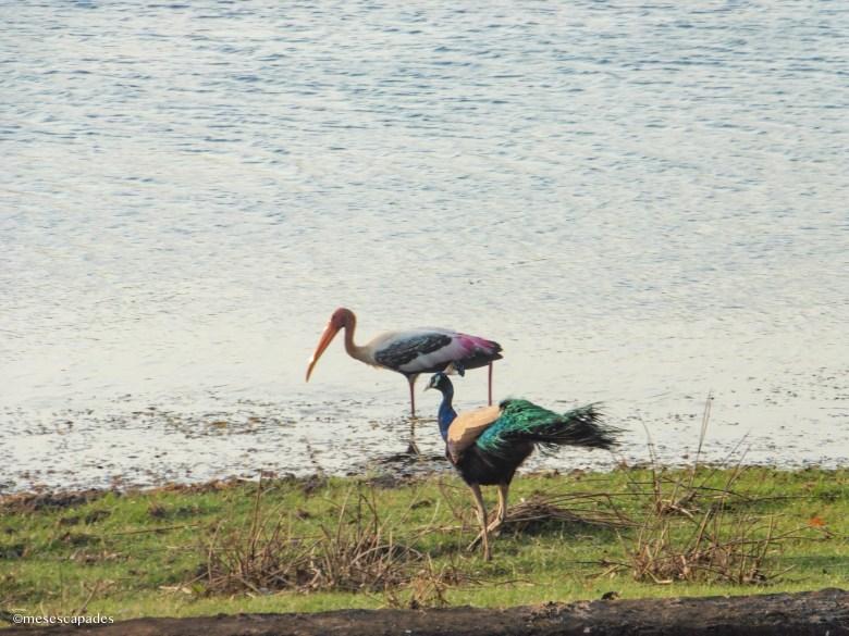 Que découvrir en safari au Sri Lanka ?