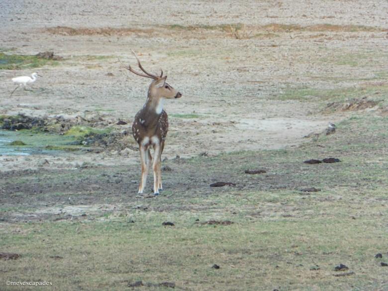 Rencontre avec des cerfs et des biches au Safari de Kumana