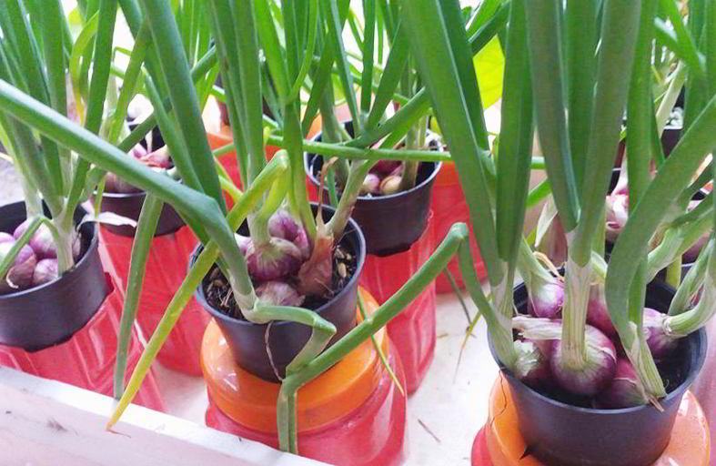 hidroponik bawang merah