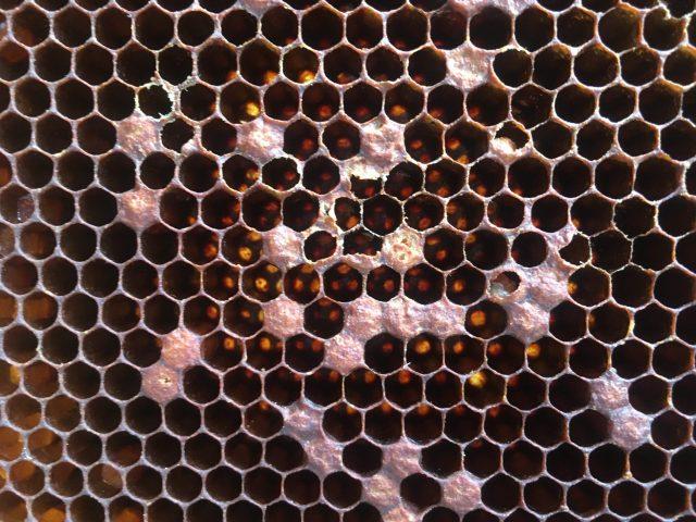 Excrément varroa