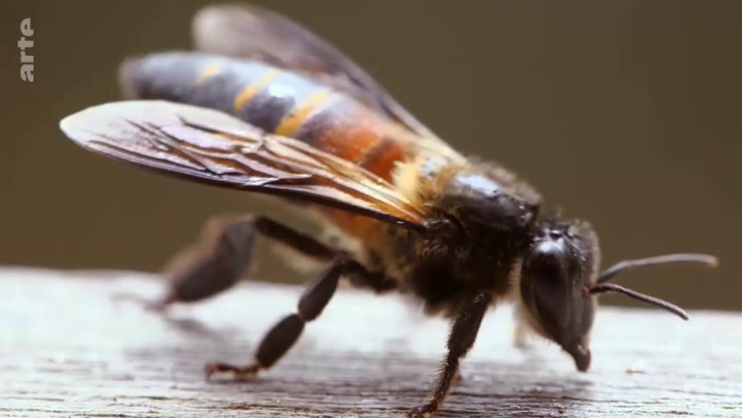 abeille geante