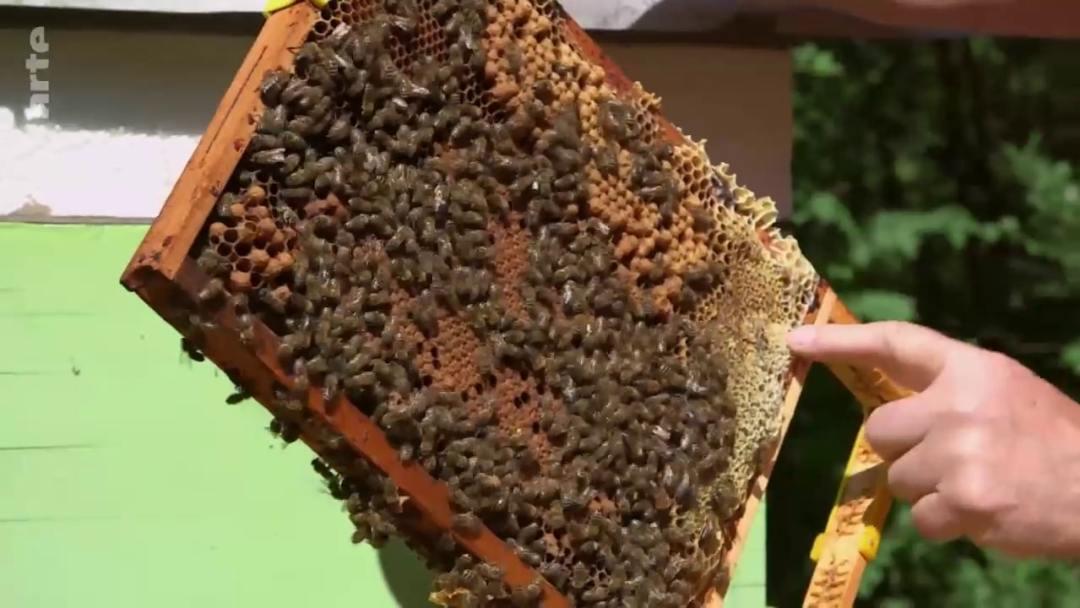oeufs abeille