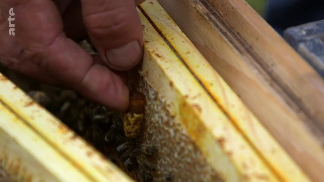 greffage reine ruche