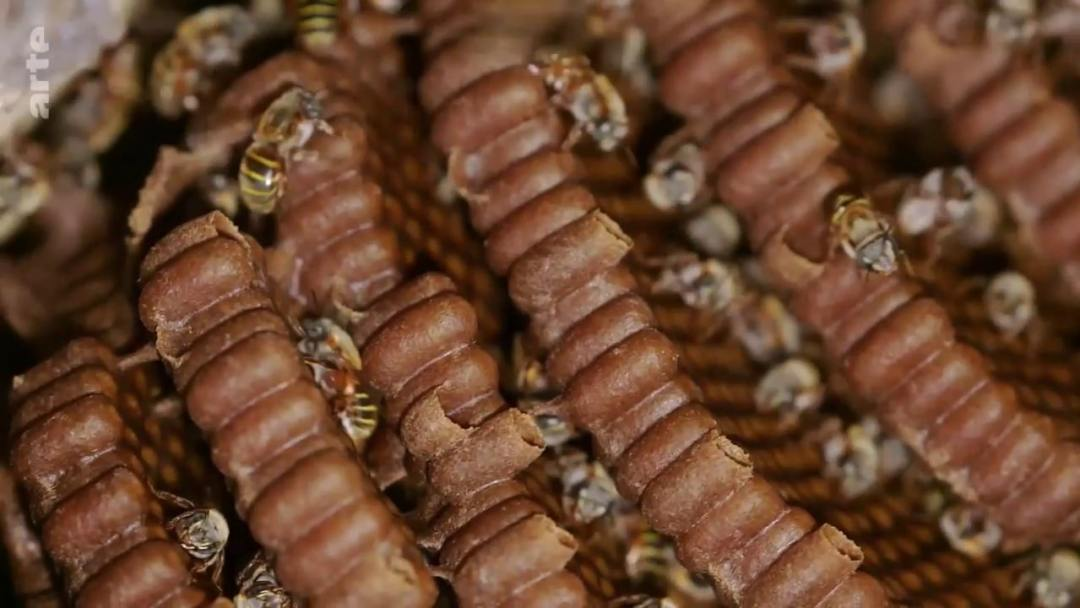 rayon abeilles mélipones