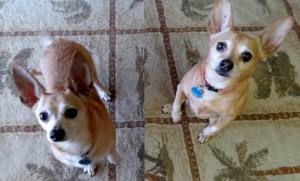 Trixie&Norton-aa_HendonMesquite_6-24-15 (2)