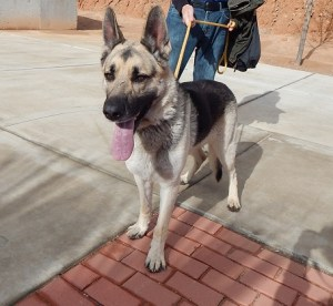Chief is a 5 year old male German Shepherd. He needs a large fenced yard where he can get lots of exercise. Chief knows sit and does well on a leash. He needs to be the only dog in the home. He was found as a stray so we don't have any information on him before he came to shelter.