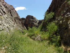 Plant chocked last third of Arrow Canyon Trail, Arrow Canyon Wilderness - April 2016