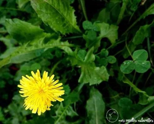 Une fleur de pissenlit