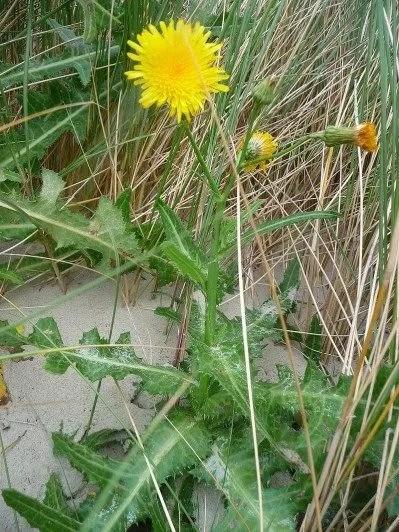 Sonchus arvensis (laiteron des champs)