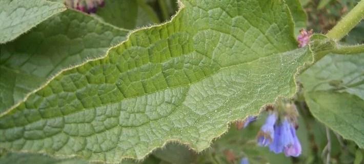 feuilles de consoude : utilisation