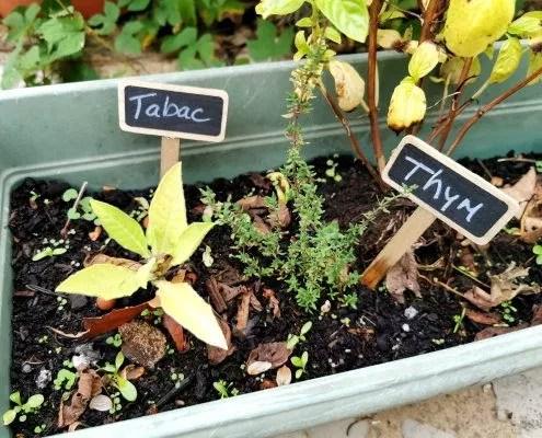 cultiver les plantes médicinales sur un balcon