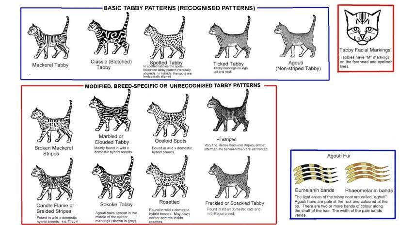 Coat Pattern Genetics Encyclopaedia, Types Of Cat Fur Coats