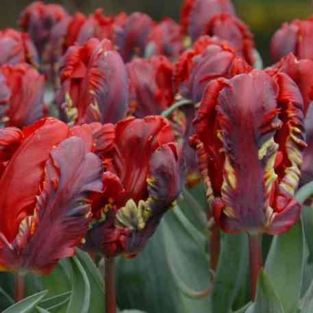 acheter tulipe perroquet rococo