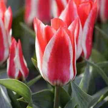 Tulipe Botanique pour fleurir son jardin et son balcon