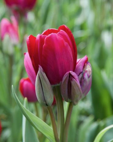 Tulipe Fiery Club - Achat en ligne
