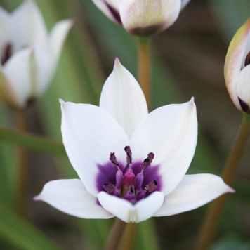 Tulipe Alba Coerulea Oculata - Achat/Vente de bulbes
