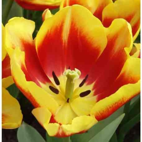 Acheter des bulbes de Tulipe Dow Jones
