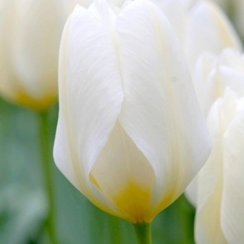 Tulipe Purissima - Achat et Vente de bulbes de tulipes botaniques