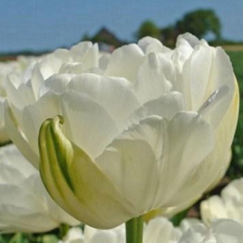 Tulipe double Maureen - Achat de bulbe de tulipe
