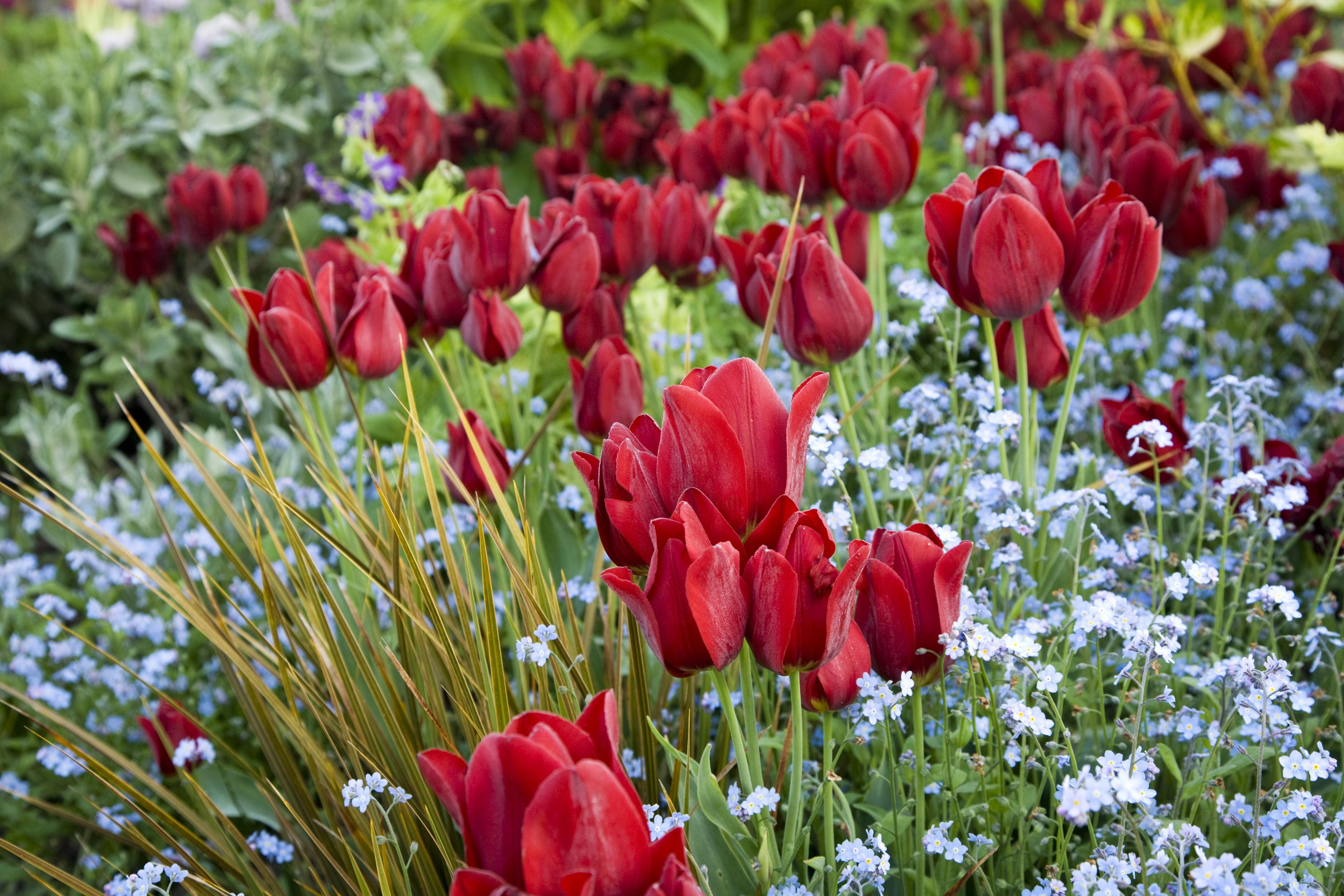 Quelles Fleurs Planter Fin Aout tulipe pluriflore red georgette simple tardive : bulbe à plusieurs fleurs  rouge cardinal | mes tulipes - le guide tulipophile