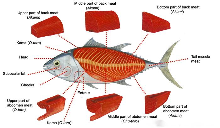 tuna_anatomy