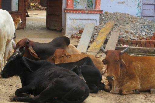 vaches en liberté en Inde