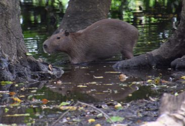Parc national Madidi capybara