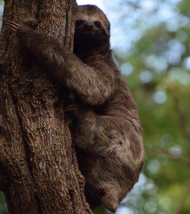 Amazonie paresseux
