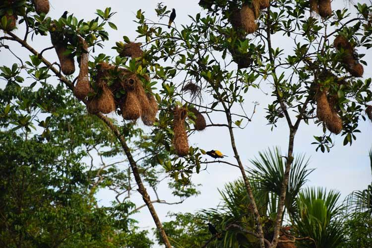 nids-oiseaux-tisserand