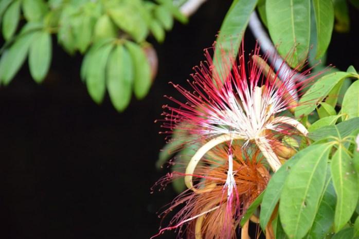orenoque-fleur