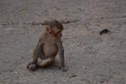 singe-petit-jaipur-inde