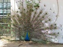 Evora - Jardin publique, paons