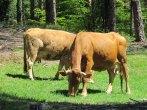 Parc de Geres - Dans le parc, vaches
