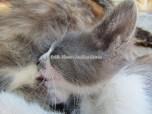 Péloponnèse - Mystras - Un chat qui téte sa maman
