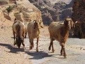 Pétra - Chèvres