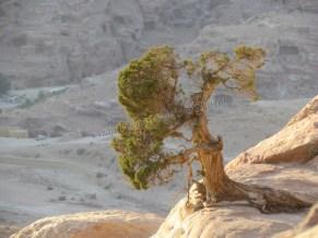 Pétra - Haute Place du sacrifice, arbre pourssant sur de la pierre