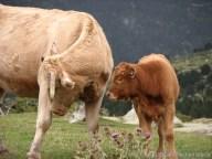 Pyrénées-Orientales - Lac des Bouillouse - Les vaches