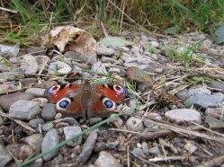 Rivière 'Lock Ness', papillon