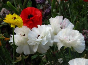 Melbourne - Parc 'Queen Victoria Garden', fleurs