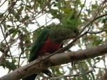 Sud Victoria - 'Great Ocean road' - Animaux, perroquet