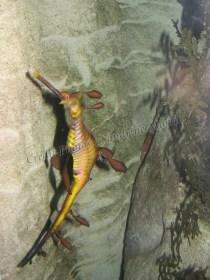 Sydney - Aquarium, hippocampe