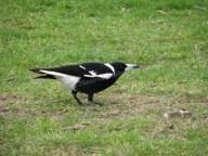Sydney - Jardin botanique - Oiseaux, cassican flûteur