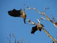 Sydney - Jardin botanique - Oiseaux, roussettes