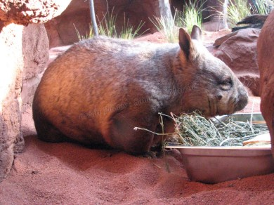 Sydney - Wildlife, wombat