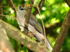 Adelaide - Jardin botanique, oiseau