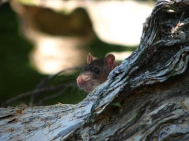 Adelaide - Jardin botanique, rat