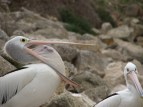 Kangaroo island - Kingscote, pélicans
