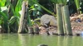 Bogor - Jardin Botanique, varan