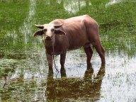 Ile Langkawi - Pantai Cenang - Laman Padi, champs de riz, buffle albinos