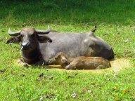 Ile Langkawi - Pantai Cenang - Laman Padi, champs de riz, buffles